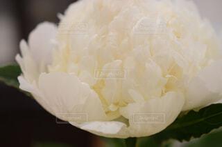 ピオニー ホワイトの写真・画像素材[4553645]