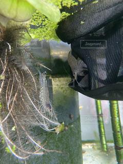 水草とヤマトヌマエビの写真・画像素材[4557006]