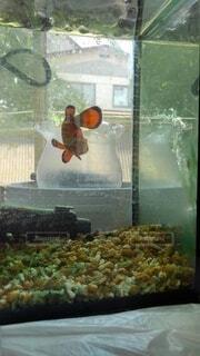 初夏の水泳の中で涼しいカクレクマノミ。の写真・画像素材[4555074]