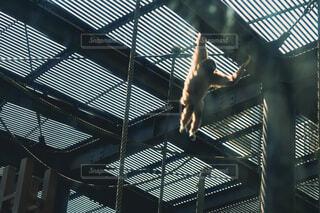 猿、移動中の写真・画像素材[4555373]