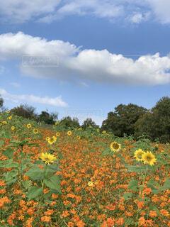 野原の花の写真・画像素材[4559986]