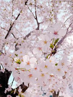ピンクの桜の写真・画像素材[4561255]