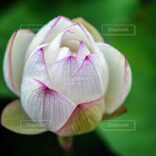 ハスの花のクローズアップの写真・画像素材[4564013]