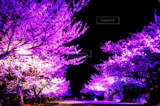 桜の写真・画像素材[384665]