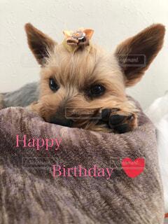 ヨークシャテリアがお誕生日をお祝いしますの写真・画像素材[4565895]