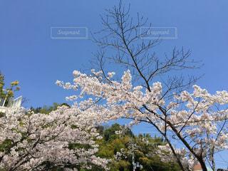 No.504816 桜