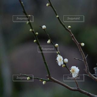 木の枝に紫色の花の写真・画像素材[1789383]