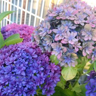 紫陽花のアップの写真・画像素材[2225801]