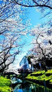 青空と桜並木🌸の写真・画像素材[4659091]