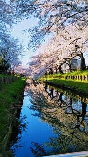 桜並木🌸の写真・画像素材[4659092]