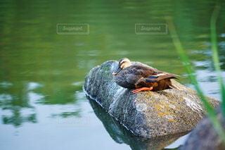 リラックスするカルガモの写真・画像素材[4666687]