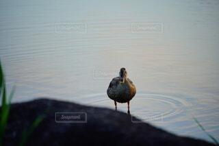 水辺に立つ鳥の写真・画像素材[4666684]