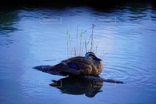 湖面に写る水鳥の写真・画像素材[4666686]