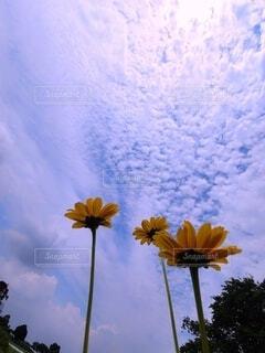 青空に伸びるキバナコスモスの写真・画像素材[4587859]