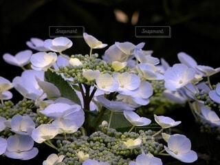 紫の紫陽花の色付く手前のクローズアップ写真の写真・画像素材[4589601]