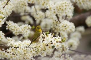ソルダムの花の蜜を吸うメジロの写真の写真・画像素材[4591237]