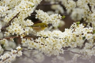 ソルダムの花の蜜を吸うメジロの写真の写真・画像素材[4591240]