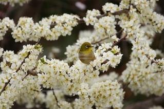 ソルダムの花の蜜を吸うメジロの写真の写真・画像素材[4591247]