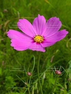 野に咲くコスモスの花の写真・画像素材[4591974]