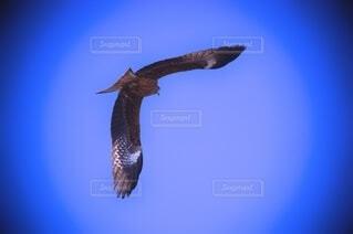 空から獲物を狙うトンビの写真・画像素材[4595732]