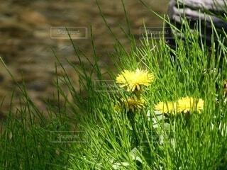 太陽をたっぷり浴びるタンポポの花の写真・画像素材[4596386]