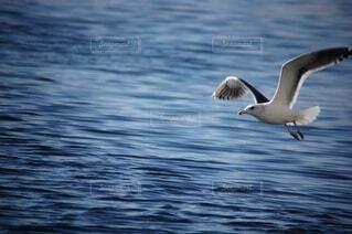 海の上を滑空するカモメの写真の写真・画像素材[4600321]