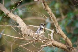 枝に止まるコゲラの写真の写真・画像素材[4600431]