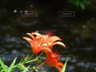 川を背景に咲くオニユリの花の写真・画像素材[4604386]
