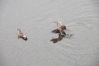 飛び立とうとする鴨の写真・画像素材[4610052]