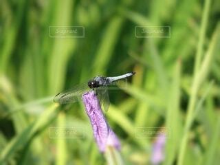 紫の菖蒲の蕾にとまるシオカラトンボの写真・画像素材[4617227]
