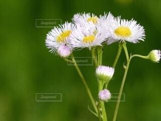 緑を背景に咲く菊科の草花の写真・画像素材[4618627]