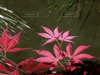 木漏れ日に光る紅いモミジの葉の写真・画像素材[4619118]