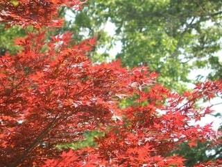 緑の背景に紅いモミジの写真の写真・画像素材[4619137]