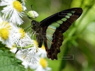 草花の蜜を吸うアゲハ蝶(アオスジアゲハ)の写真・画像素材[4619196]