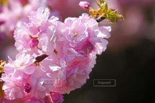 八重桜のクローズアップ写真の写真・画像素材[4629273]