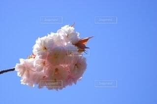 八重桜のクローズアップ写真の写真・画像素材[4629336]