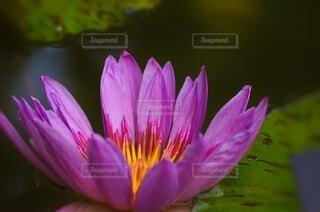 紫色のスイレンのクローズアップの写真・画像素材[4630367]