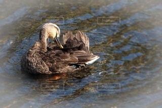 鴨の羽づくろいの写真・画像素材[4636437]