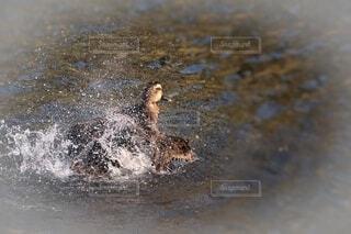 鴨の羽づくろいの写真・画像素材[4636443]