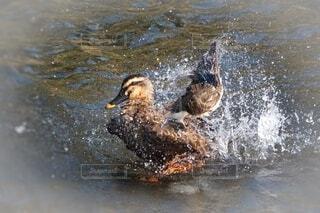 鴨の羽づくろいの写真・画像素材[4636452]