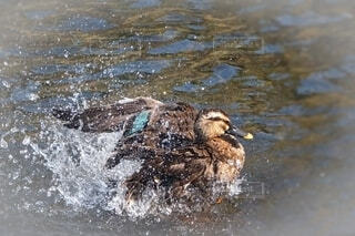 鴨の羽づくろいの写真・画像素材[4636450]