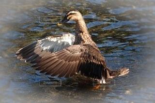 鴨の羽づくろいの写真・画像素材[4636457]