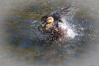 鴨の羽づくろいの写真・画像素材[4636458]