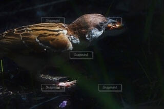 木陰でエサを食べる雀の写真・画像素材[4638816]