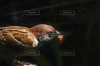 木陰でエサを食べる雀の写真・画像素材[4638815]