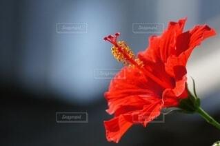 赤いハイビスカスのクローズアップの写真・画像素材[4638864]
