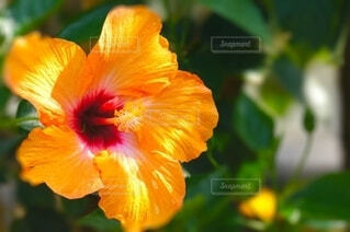黄色いハイビスカスのクローズアップの写真・画像素材[4638865]
