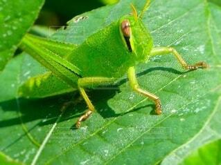 素敵な緑のバッタの子どもの写真・画像素材[4647513]