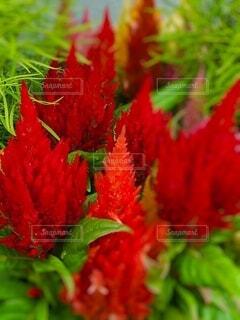 赤いケイトウのクローズアップの写真・画像素材[4649746]