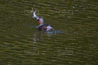大物ゲット!カイツブリが魚を食べるの写真・画像素材[4667780]